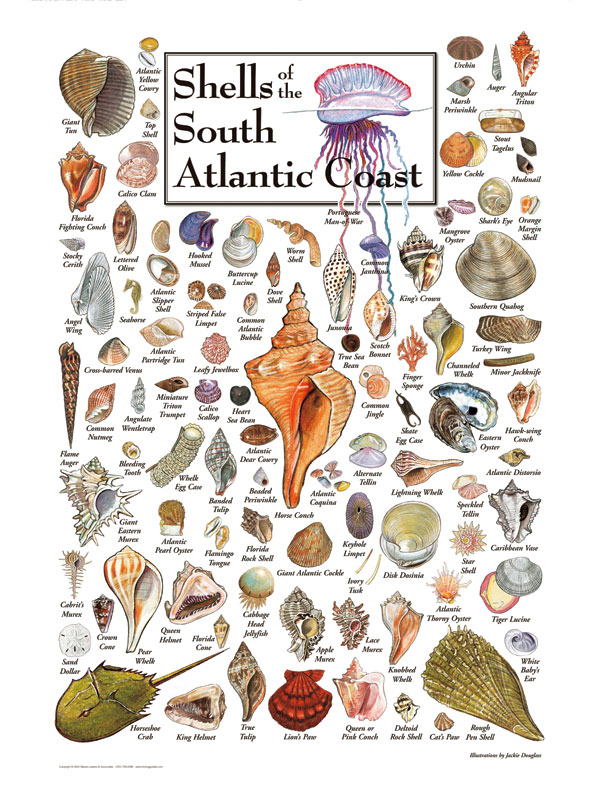Shells Of The South Atlantic Coast Puzzles Jigsaw Puzzles