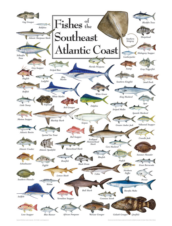 Fish of the south atlantic coast puzzle jigsaw puzzles for Florida saltwater fish species