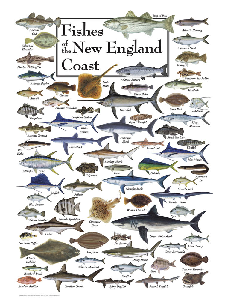 Fish of the new england coast puzzle jigsaw puzzles for Types of fish in the gulf of mexico