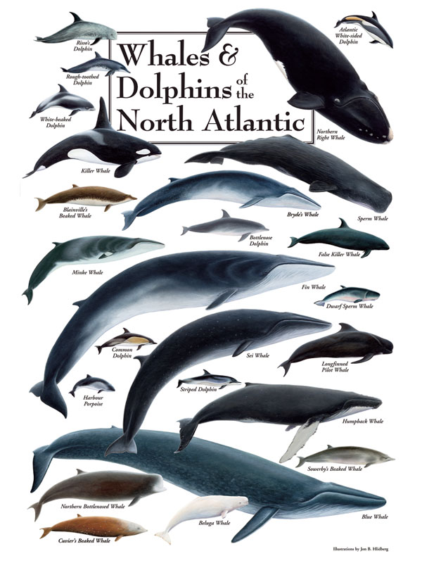 Whales & Dolphins of the North Atlantic Puzzle | Jigsaw ... Basking Shark Vs Whale Shark