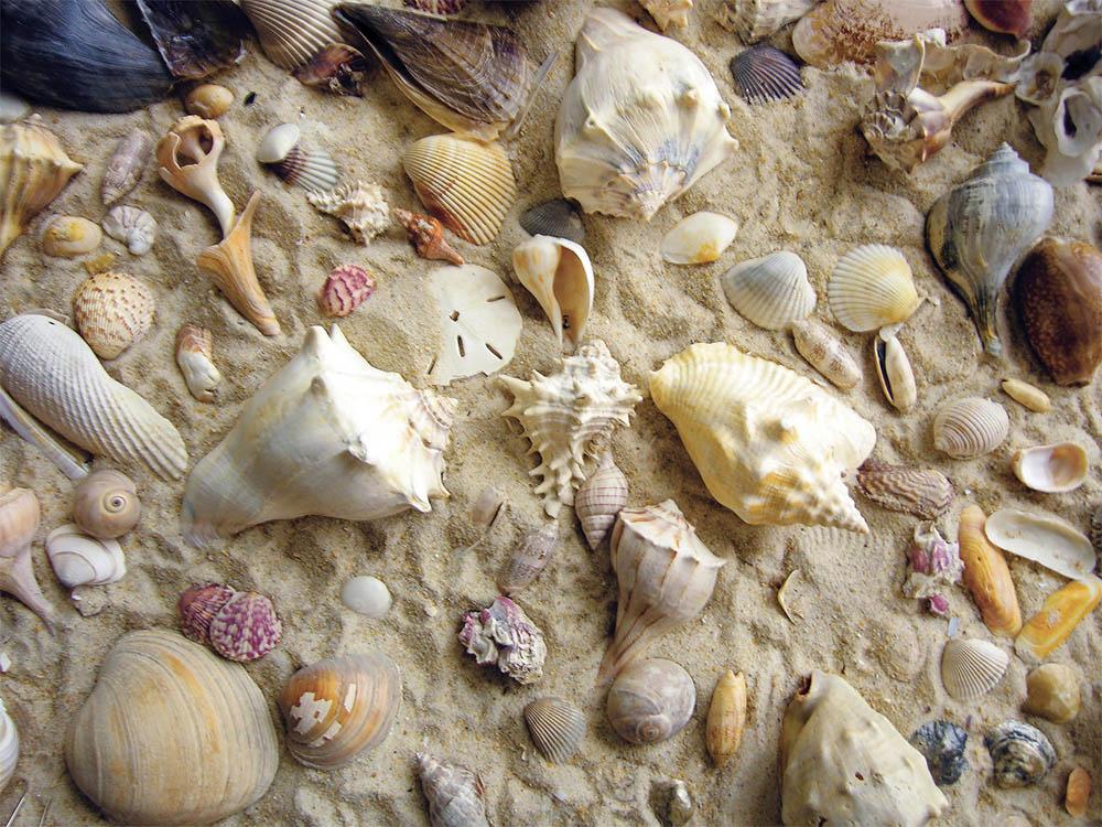 image of seashells  She Sells Sea Shells Puzzle | Jigsaw Puzzles