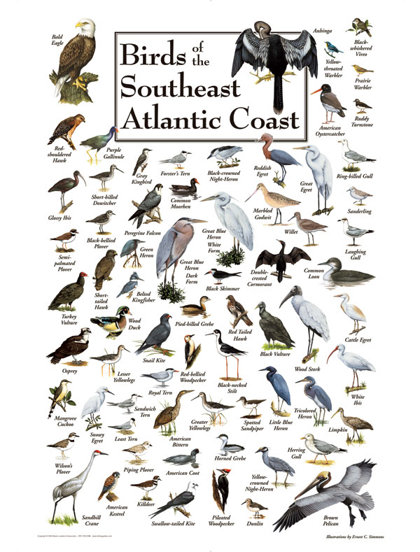 30506 Birds of the Southeast Atlantic Coast
