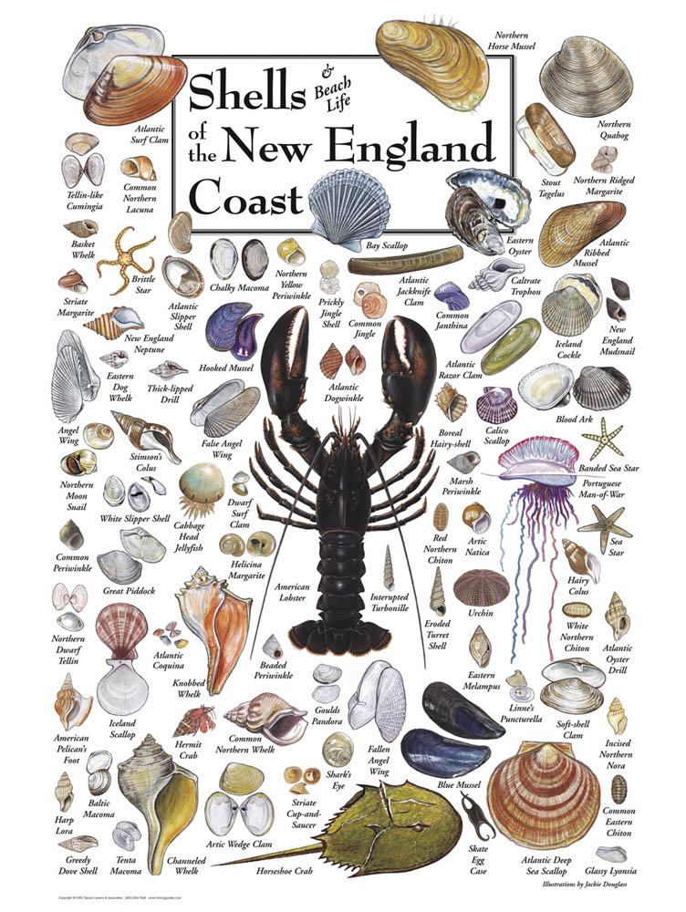 30507 Shells of New England
