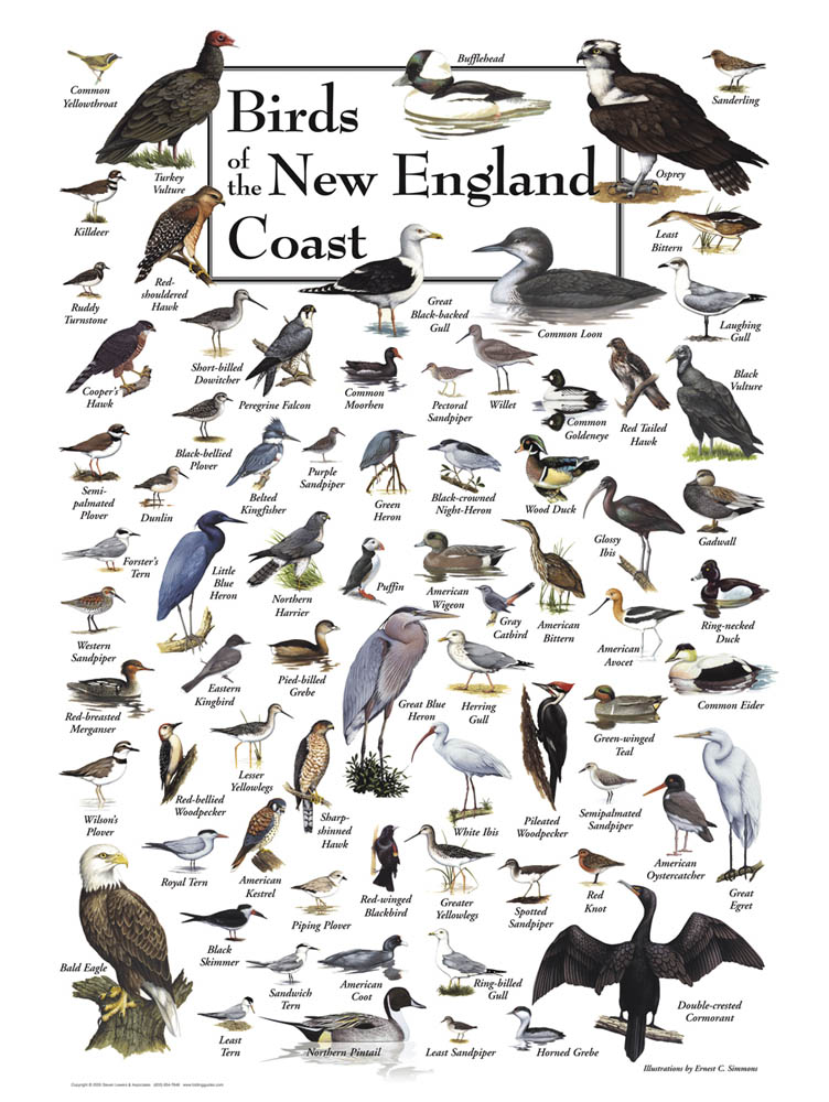 30509 Birds of New England