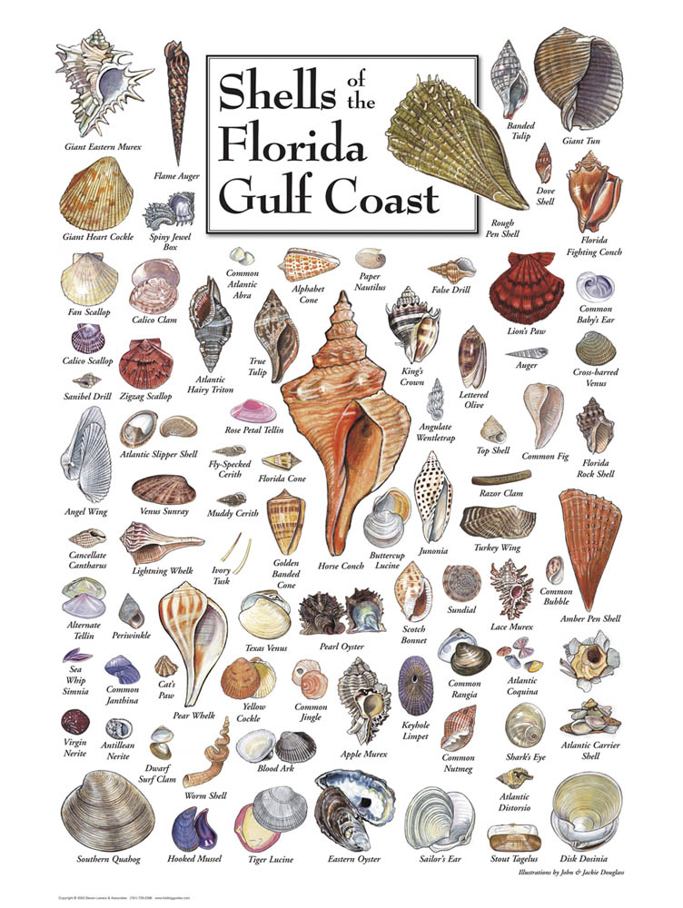 30510 Shells of the Florida Gulf