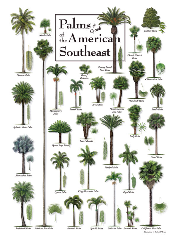 30513 Palms of the American Southeast