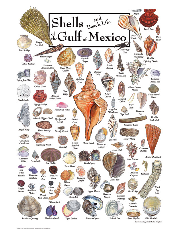 30515 Shells of the Gulf of Mexico