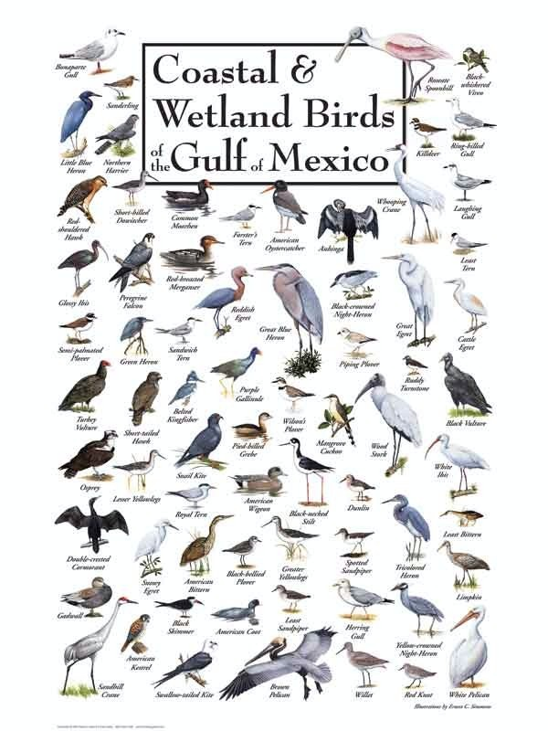 30516 Birds of the Gulf