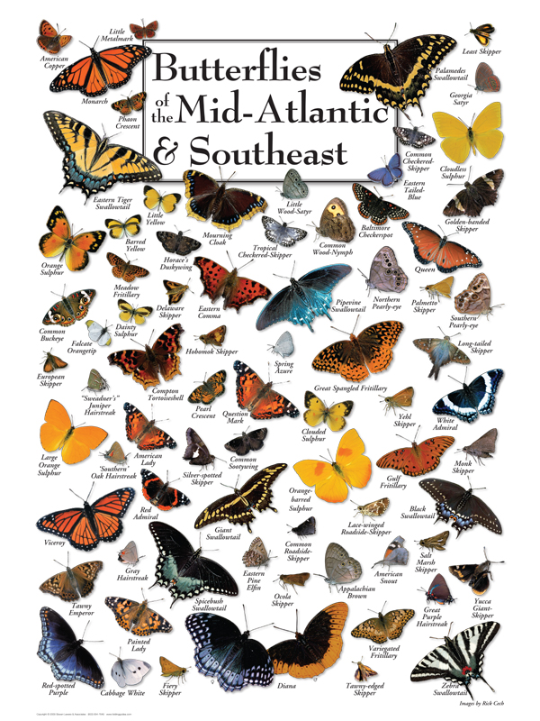 30518 Butterflies of Mid-Atlantic & SE