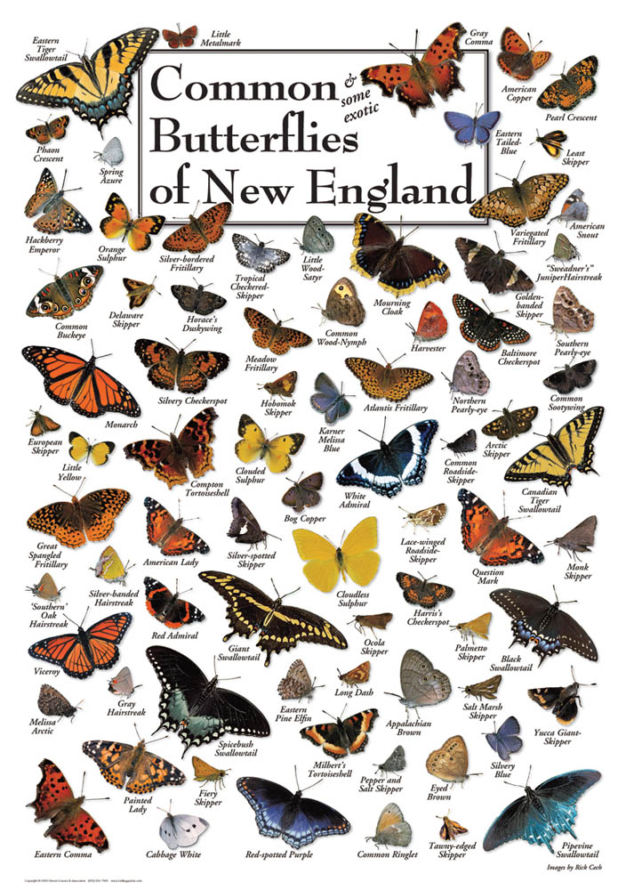 30519 Butterflies of New England