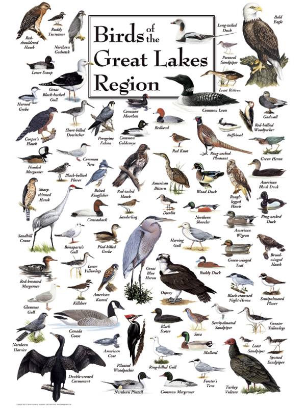 30521 Birds of the Great Lakes