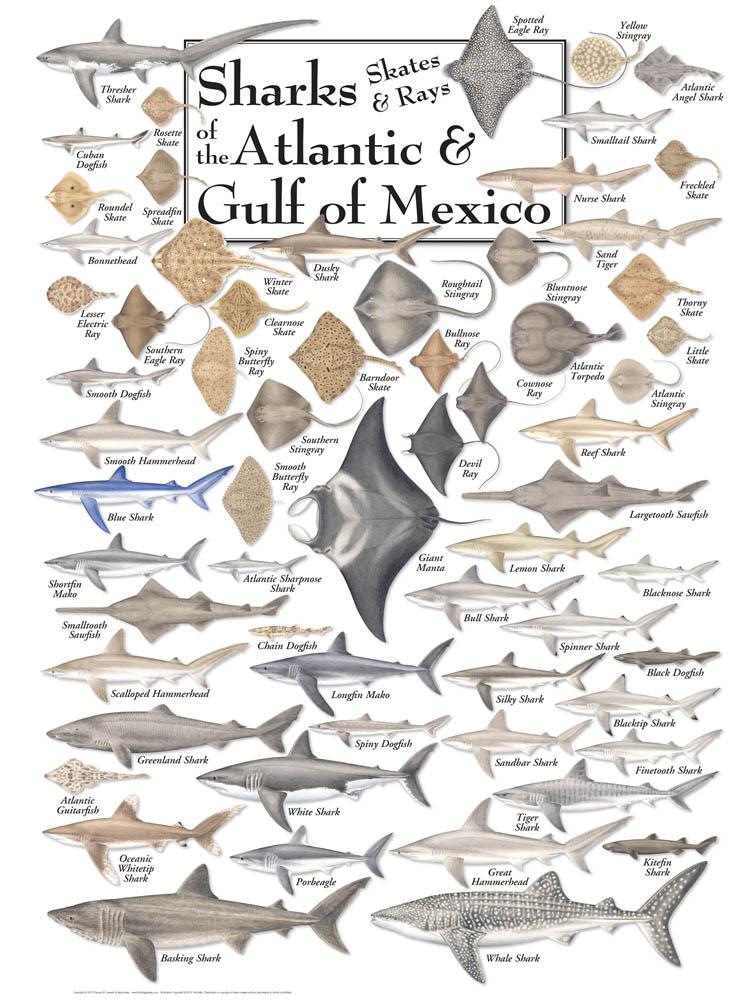 30525 Sharks, Skates & Rays