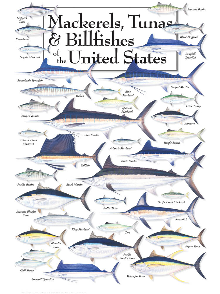 30526 Mackerels, Tunas & Billfish