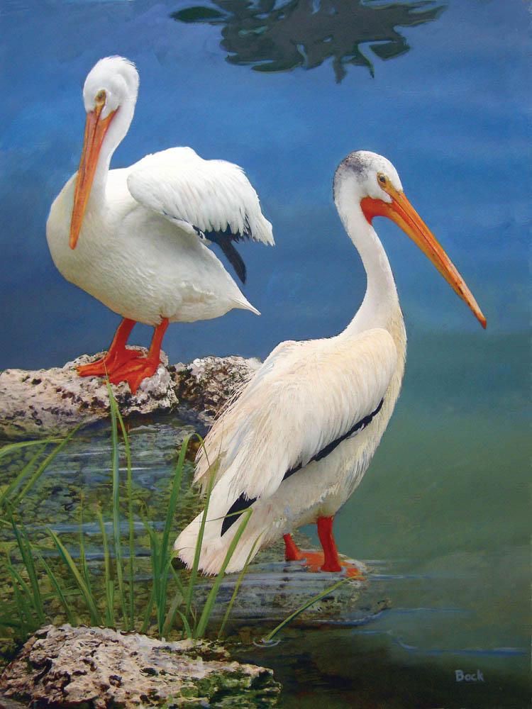 40508 White Pelicans
