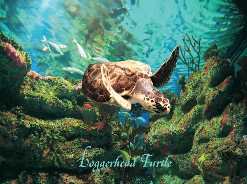 40564 Loggerhead Turtle