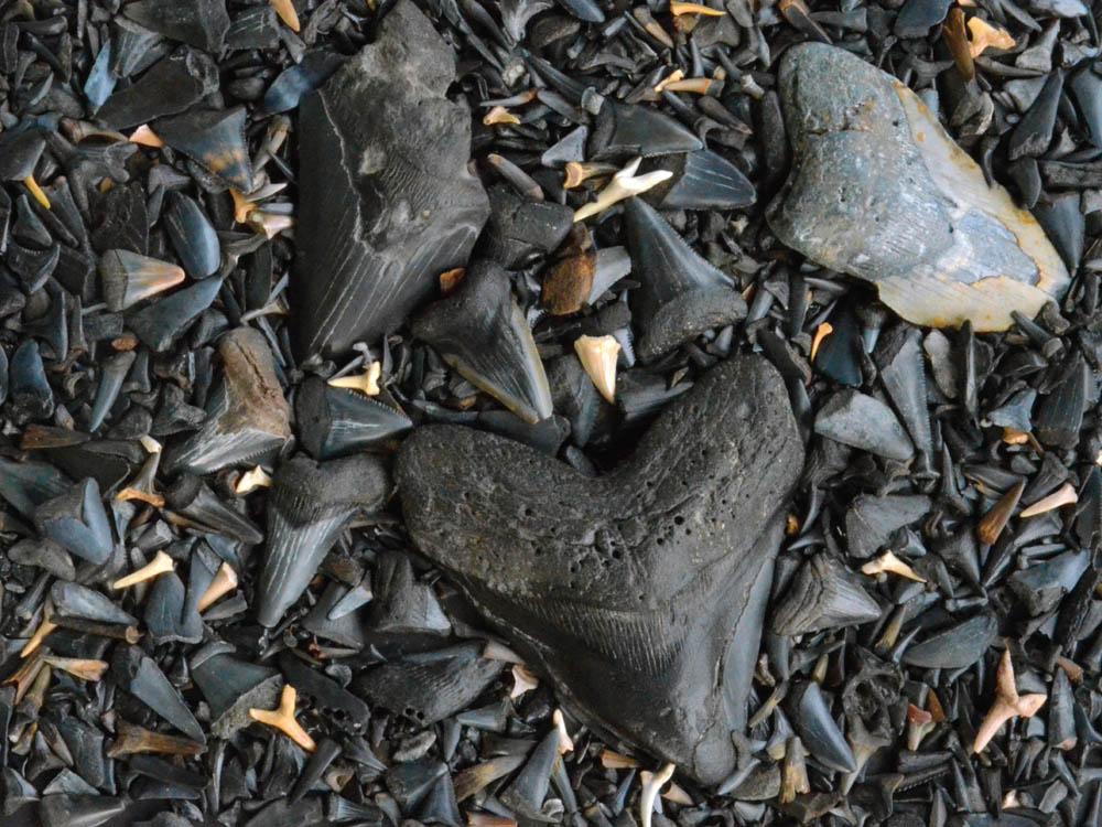 40573 Fossilized Shark's Teeth
